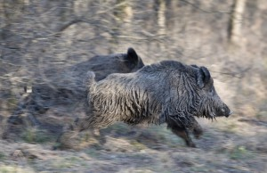 Two wild boars running away in forest, panning technique of image